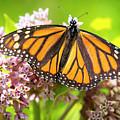 Monarch Butterfly Closeup  by Ricky L Jones