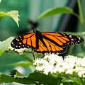 Monarch Butterfly by Cynthia Woods