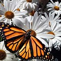 Monarch Butterfly by E Clifford