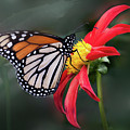 Monarch  Butterfly Enjoying A Dahlia by Ann Jacobson
