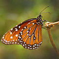 Monarch Butterfly by Heather Coen