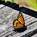 Monarch Butterfly I by Eileen Brymer