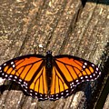 Monarch Butterfly II by Eileen Brymer