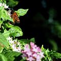 Monarch Butterfly II by Susan Molnar