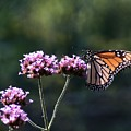 Monarch Butterfly IIi by Eric Noa