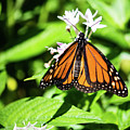 Monarch Butterfly IIi by Susan Molnar