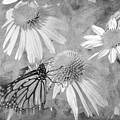 Monarch Butterfly In Black And White by David Stasiak