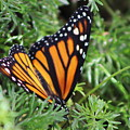 Monarch Butterfly In Lush Leaves by Colleen Cornelius