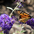Monarch Butterfly by Jaime Lind