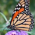 Monarch Butterfly by Janet Pugh