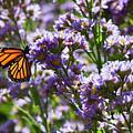 Monarch Butterfly by Jeff Breiman