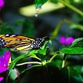 Monarch Buttefly by Jeff Swan