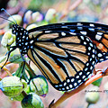 Monarch Butterfly  by Judithann O'Toole