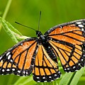 Monarch Butterfly by Larry Ricker