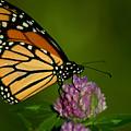 Monarch Butterfly by Matt Steffen