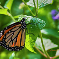 Monarch Butterfly Migration by Edward Peterson