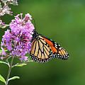 Monarch Butterfly On Butterfly Bush 2011 by Karen Adams
