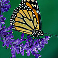 Monarch Butterfly On Flower Blossom by Panoramic Images