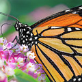 Monarch Butterfly On Milkweed by Jim Hughes