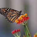 Monarch Butterfly On Milkweed by Randy Matthews