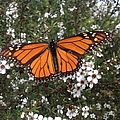 Monarch Butterfly On New Zealand Teatree Bush by By Divine Light