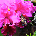 Monarch Butterfly On Orchids by Jill Lang