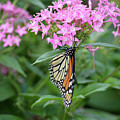 Monarch Butterfly On Pink Flowers  by Ruth Housley