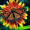 Monarch Butterfly On Sunflower  by Paul Wilford