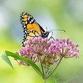 Monarch Butterfly On Swamp Milkweed by Jim Hughes
