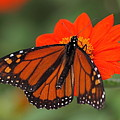 Monarch Butterfly by Peter Gray