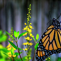 Monarch Butterfly Poised On Green Stem Among Yellow Flowers by Sharon Minish