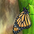 Monarch Butterfly Poised On Green Stem by Sharon Minish