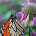 Monarch Butterfly Posing by Smilin Eyes  Treasures