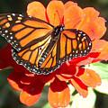 Monarch Butterfly by Racquel Morgan