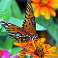Monarch Butterfly Resting by Cynthia Guinn