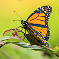 Monarch Butterfly by Richard Kitchen