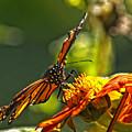 Monarch Butterfly by Robert Ullmann