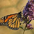Monarch Butterfly by Sandy Keeton