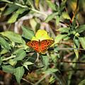 Monarch Butterfly by Scott Dry