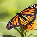 Monarch Butterfly by Teresa Zieba