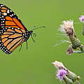 Monarch Butterfly by William Jobes