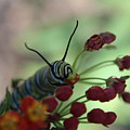 Monarch Caterpillar by Cheryl Kostanesky