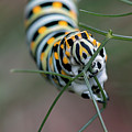 Monarch Caterpillar Clutches Dill In Pincers, Macro by Sharon Minish