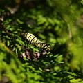Monarch Caterpillar by Denise Ashley