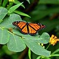 Monarch Butterfly Resting On Cassia Tree Leaf by Carol Bradley