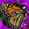 Monarch Dreams by Lisa Renee Ludlum
