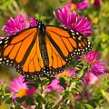 Monarch Feeding by Chris Lord
