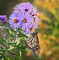Monarch Feeding by James Steele