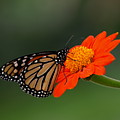 Monarch Glow by Peter Gray