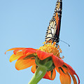 Monarch I by Dawn Currie